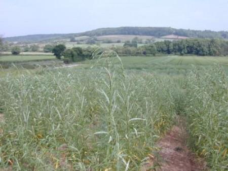 UK energy crop