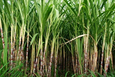 EU guidelines for biofuels production, brazil sugar cane