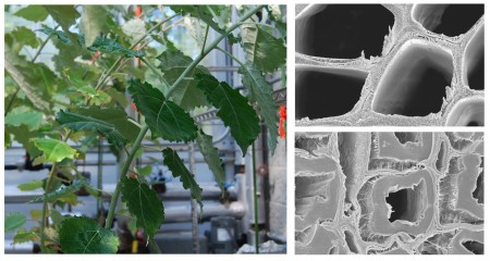 Cells In Bending Trees Make Good Biofuels Earthtechling