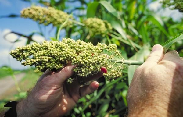 sorghum biofuel