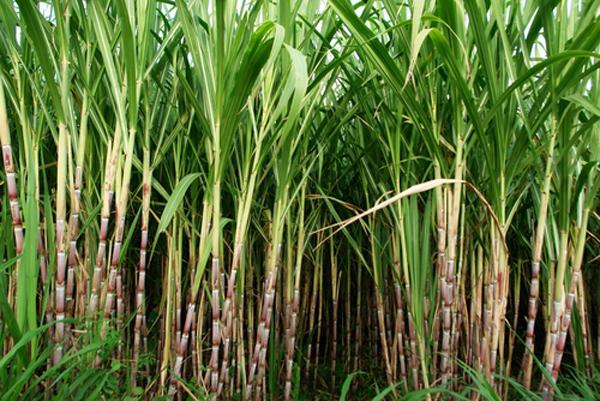 Biofuel crop