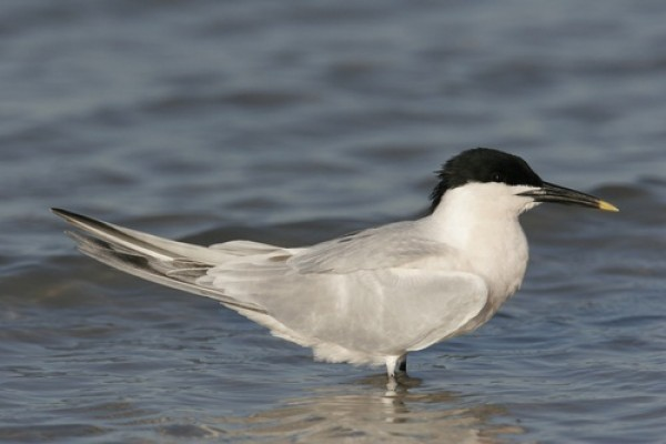 sandwich tern,docking shoal,offshore wind farm