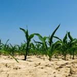 food vs. fuel corn crop renewable fuel standard