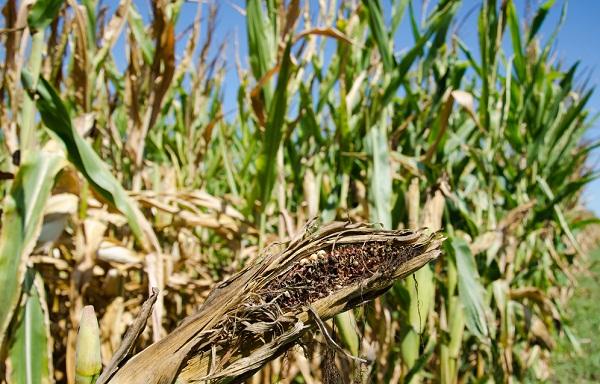 drought ethanol corn