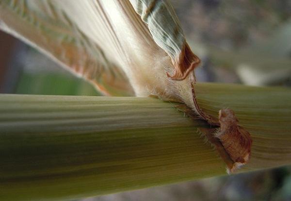 sorghum advanced biofuel