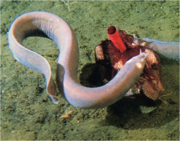Hagfish, synthetic fabric, sustainable fabric, fashion, American Chemical Society