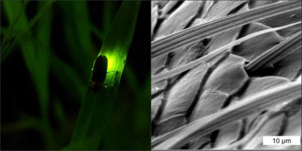 fireflies, biomimicry, LEDs