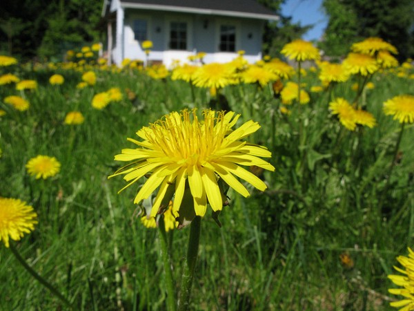 dandelions, rubber, biotechnology