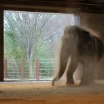 Shanti, an Asian elephant, takes a quick dust bath in the National Zoo's new LEED Gold certified enclosure. Image by Andrea Pohlman via Smithsonian National Zoological Park.