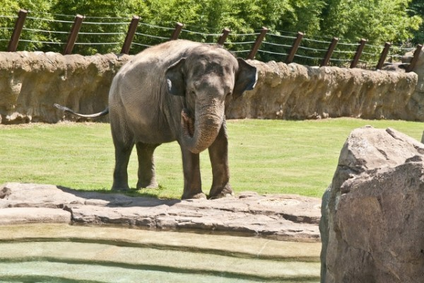 An expanded outdoor habitat gives the critically endangered animals more room for exercise and fresh air. Image via Smithsonian National Zoological Park.