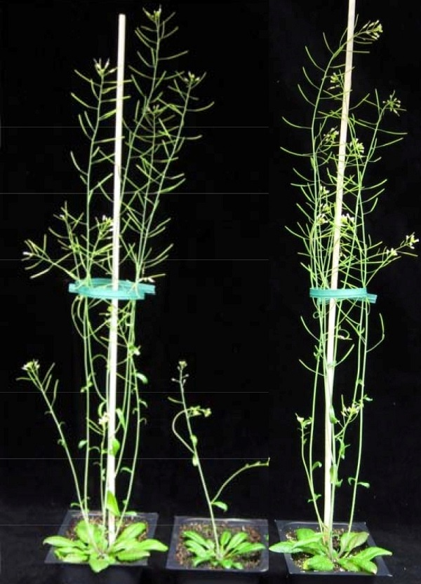 On the right is an Arabidopsis plant engineered to reduce the xylan content while preserving the structural integrity of its cell walls. It compares favorably to wild type plant on the far left. In the middle is a xylan-deficient mutant. (image via Berkeley Lab)