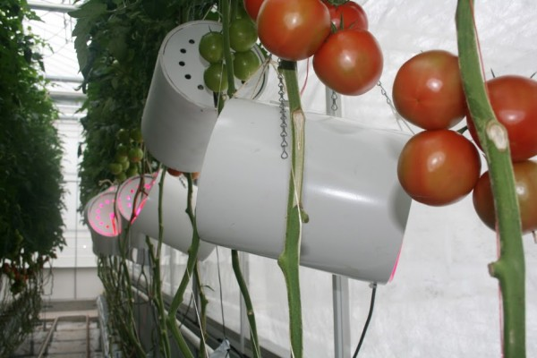 tomatoes and LEDs