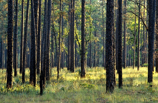 A Florida pine forest (image via U.S. Department of Agriculture)