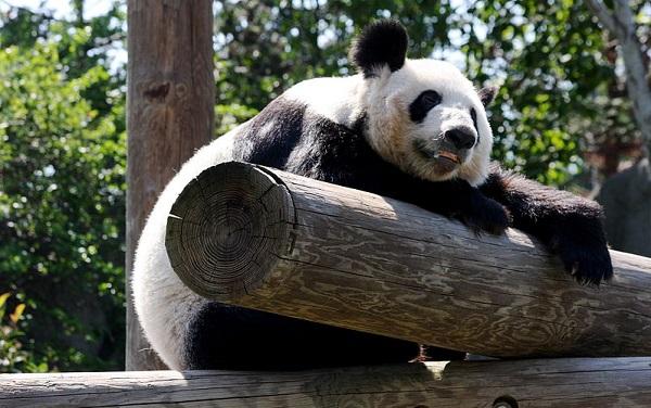 panda poop power