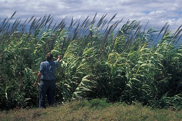 Arundo donax, also known as giant reed. (image via Wikimedia Commons)