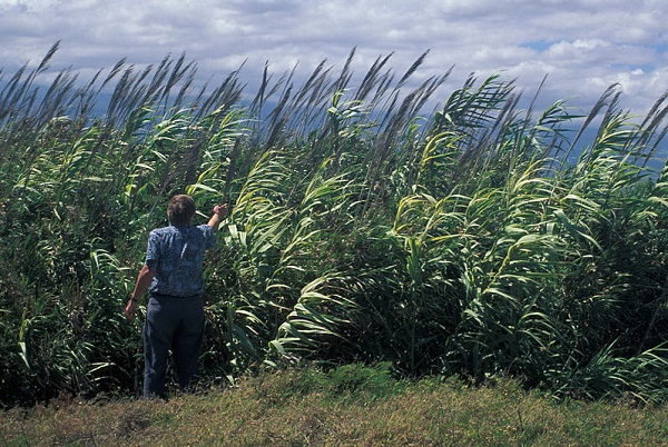 Arundo donax, also known as giant cane. (image via Wikimedia Commons)