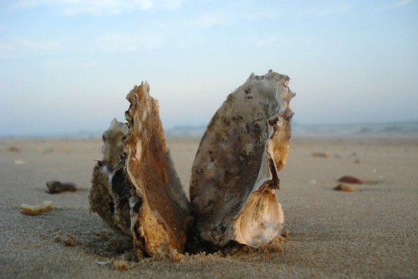 oyster_shells